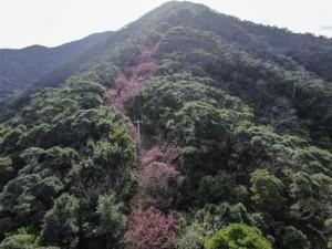 山の斜面を染める満開のヒカンザクラ=4日、龍郷町大勝(本社小型無人機で撮影)