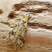 ①イジュの花粉を付けたアマミモンヘビトンボ(杉浦直人氏提供)