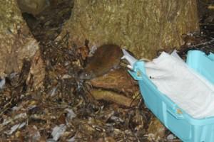森に返されたケナガネズミ=10日午後6時ごろ、奄美大島(奄美野生生物保護センター提供)