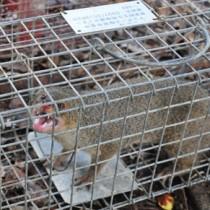 奄美大島で捕獲されたマングース