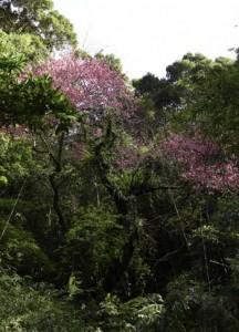 「ナーノの桜」と呼ばれるヒカンザクラの古木が見頃を迎えている龍郷町の山中=1日