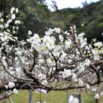 枝にたくさんの純白の花を咲かせ、豊作が期待されるスモモの木=19日、大和村
