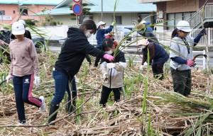 昔ながらの手刈りでキビを収穫する児童ら=10日、天城町天城
