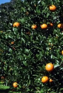 適期収穫が品質向上に欠かせないタンカン(資料写真)