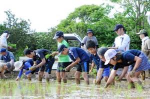 力を合わせて田植えをする参加者=11日、和泊町後蘭
