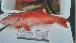 放流した個体とみられるハージン。片方の腹びれが除去されている(県大島支庁林務水産課提供)