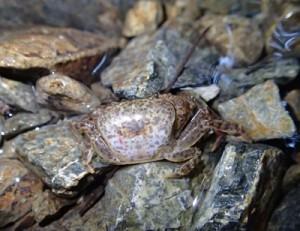 県の希少野生動植物に指定されたリュウキュウサワガニ(鈴木廣志氏提供)