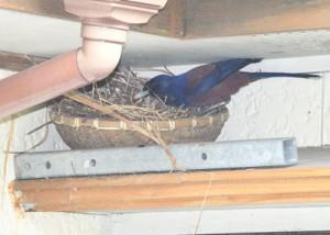 ひなに餌を運ぶルリカケスの親鳥=24日、奄美市住用町
