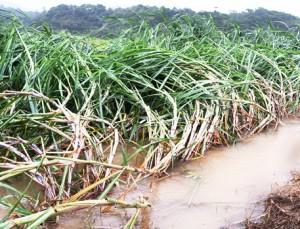 台風10号の強風で倒伏したサトウキビ=2020年9月6日、徳之島町