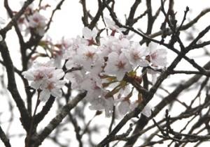 開花期を迎えた湯湾岳公園付近のソメイヨシノ=17日、宇検村