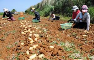 家族、親戚総出でバレイショ収穫作業に汗を流す生産者=18日、和泊町