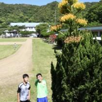 油井小中学校でアオノリュウゼツラン開花210412西谷