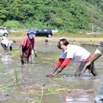 マコモの植え付け作業を行う旅行者ら=7日、龍郷町幾里