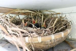 口を開けて餌を待つ3羽のひな=24日、奄美市住用町