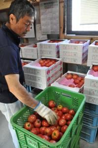 トマトの出荷作業に汗を流す生産者の矢竹さん=4月27日、喜界町赤連