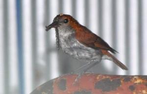 餌をくわえ、巣に戻ってきたアカヒゲの親鳥=13日、龍郷町芦徳
