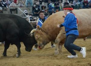 取組終盤に猛攻を仕掛ける牛若赤丸(右)=4日、徳之島なくさみ館