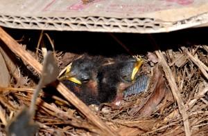 巣の中で親鳥の帰りを待つひな=13日、龍郷町芦徳
