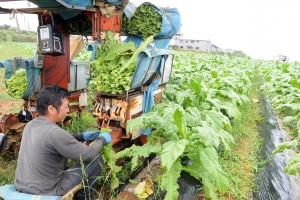葉タバコの収穫作業に汗を流す生産者=13日、知名町正名