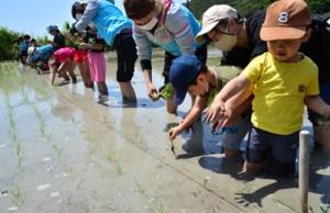 復活した水田で田植え作業に取り組む参加者=2日、瀬戸内町勝浦