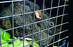 輪禍後に保護され、野生復帰したクロウサギ(環境省沖縄奄美自然環境事務所提供)